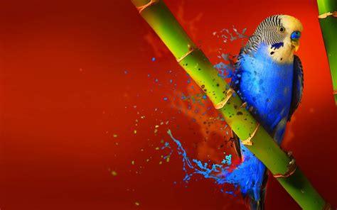 splash parrot bird  bamboo latest wallpapers hd
