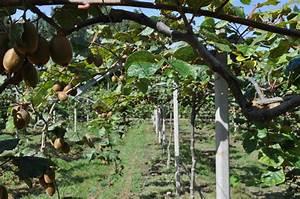 L Arbre Du Kiwi : kiwis archives mas de l 39 arbremas de l 39 arbre ~ Melissatoandfro.com Idées de Décoration