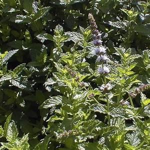Variété De Menthe : menthe fraise plant jardin pinterest menthe plante jardin et potager ~ Melissatoandfro.com Idées de Décoration