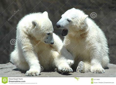 young polar bears playing stock photo image