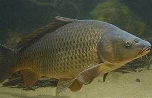 Karpfen Im Gartenteich : teichfische teichfische bei uns im angebot ~ Lizthompson.info Haus und Dekorationen