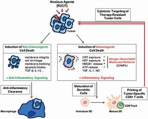 Frontiers   Radio-Immunotherapy-Induced Immunogenic Cancer ...