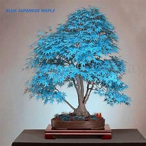 Bonsai Baum Arten : 20pcs topfpflanzen samen blau rot lila gelbes blatt ~ Michelbontemps.com Haus und Dekorationen
