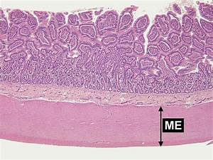 Small Intestine Microscope Slide Labeled