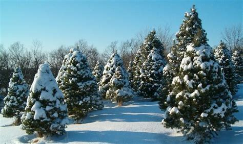 christmas tree farm in chicagoland area trees are a big small business