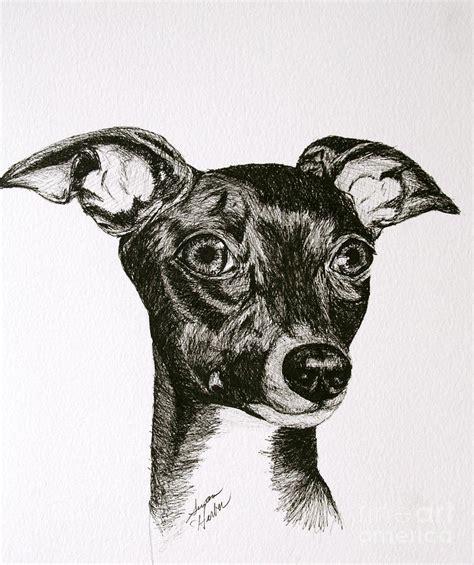 foto de Italian Greyhound Drawing by Susan Herber