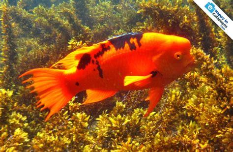 Galapagos Photos Discover This Amazing Orange Fish