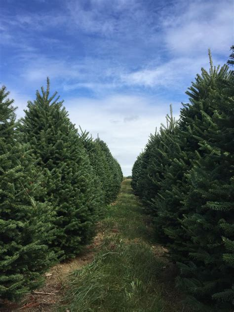 mcta membership maine christmas tree association