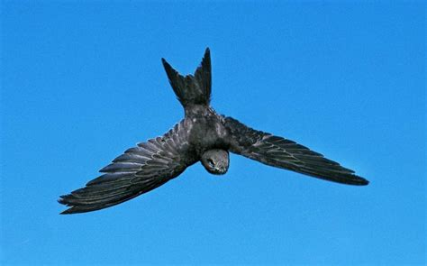 power naps  eating   wing  common swifts set