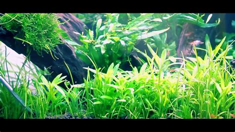 Aquascaping Tips by Awesome Planting Lilaeopsis Sagitta Trident Aquascape