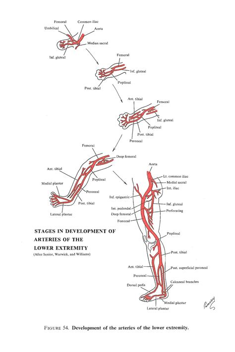 Chapter 123 Development Of The Arterial System  Review Of Medical Embryology Book Lifemap