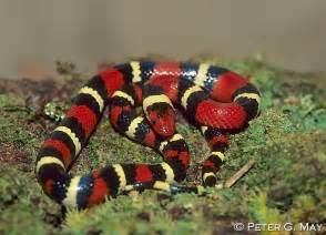 Coral Snake Saying Red and Black