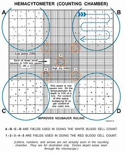 Cell Counting With A Hemocytometer