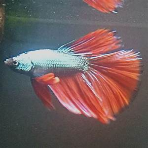 Dragonscale Bettas   That Fish Place