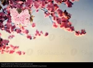 Rosa Blühender Baum Im Frühling : photocase natur pflanze baum fruehling bluete rosa manun ~ Lizthompson.info Haus und Dekorationen