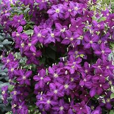 Buy Jackman's Clematis Climbing Plants From Ireland's