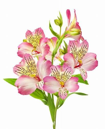 Lelies Lilies Lirios Roze Alstroemeria Peruanos Blanco