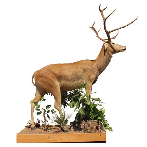 Springbok Rug by Pere David S Deer Taxidermy Mounts For Sale And