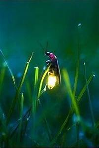 1000+ images about Lightning Bugs on Pinterest | Fireflies ...