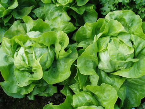 cuisine des legumes semer et repiquer les salades pratique fr