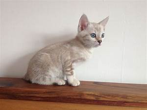 Beautiful blue eyed snow marble female Bengal gccf ...