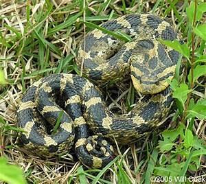 Eastern Hognose Snake (Heterodon platirhinos)