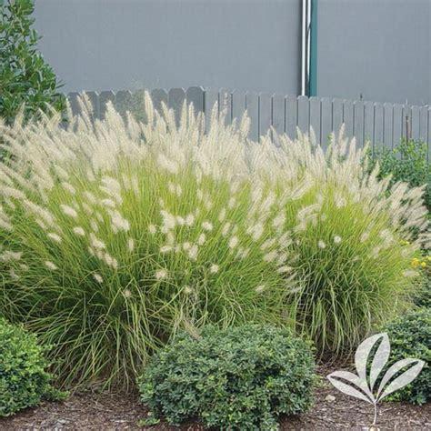 pennisetum alopecuroides hameln pennisetum alopecuroides hameln hameln grass from greenleaf nursery