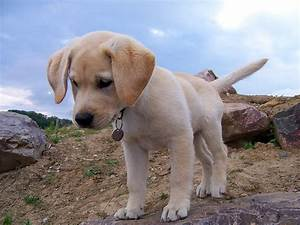 Are Mini Labradors Real