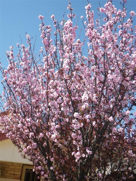 blooming plum tree flowering plum landsdale plants