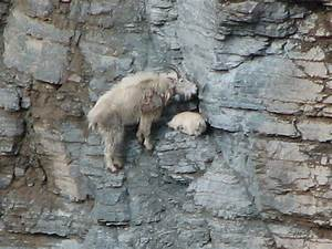 mountain goat and baby | Animals | Pinterest | Babies ...