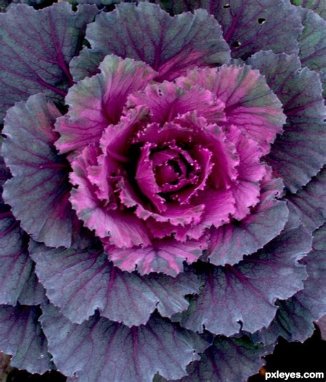 ornamental cabbage perennial ornamental cabbage picture by cmyk46 for nature close up photography contest pxleyes com