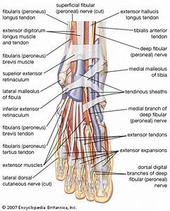 Foot Anatomy Tendons And Ligaments - Human Anatomy Diagram