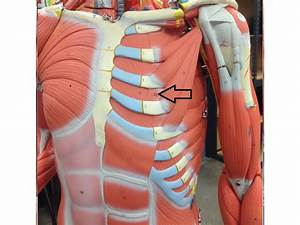 muscles of thoracic wall/muscles of the anteriors ...