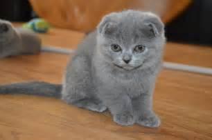 scottish fold cats scottish fold kittens peterborough