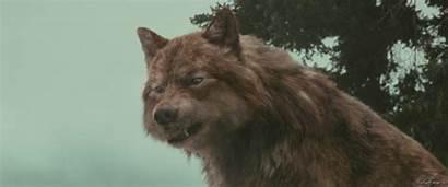 Wolf Jacob Twilight Gifs Form Saga Deviantart