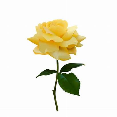 Rose Yellow Vector Tea Background Illustration Flower