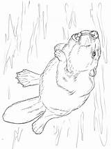 Beaver Coloring Pages Printable Animal Animals Recommended sketch template