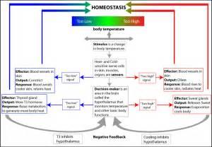 How Does Regulates Body Temperature Diagram