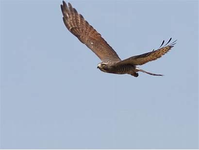 Falcon Elang Burung Ekogeo Jenis Bangkai Bondol
