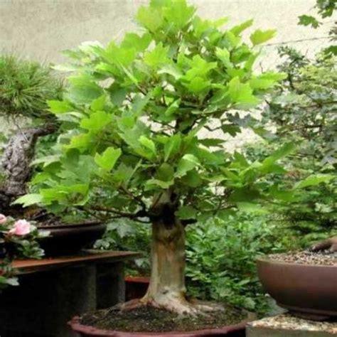 bid or bay seeds 10 american sycamore bonsai seeds platanus