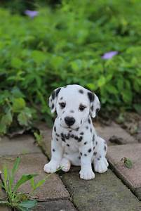 Buy Dalmatian Puppy for Sale Online in USA & Canada