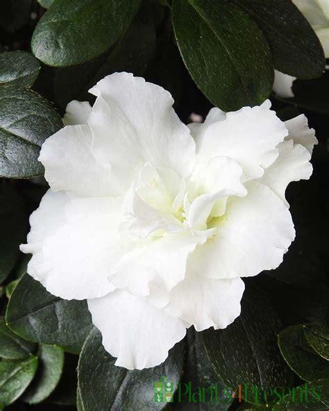 Send A White Azalea As A Plant T Quality Plants Fast