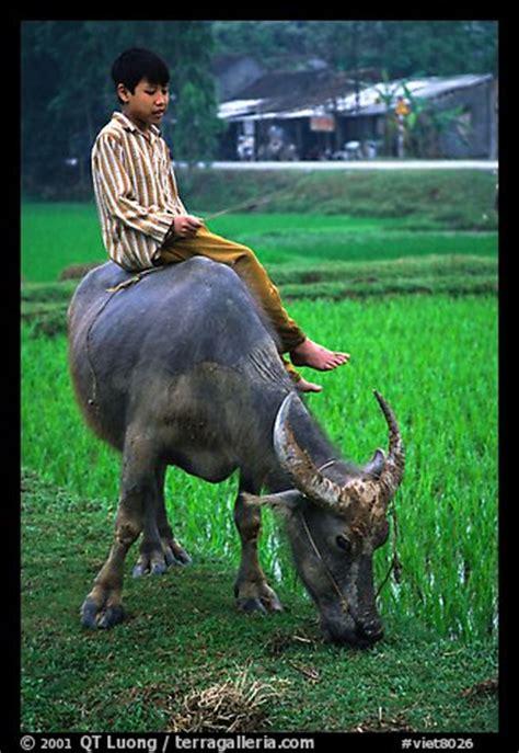 picturephoto boy sitting  water buffalo