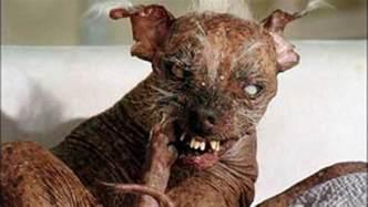 world s ugliest dog dies cbs news