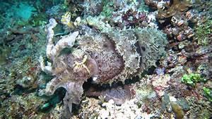 Broad club Cuttlefish - YouTube