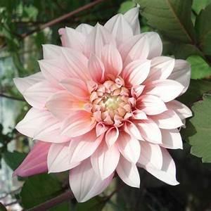 Quand Planter Des Dahlias : giant dahlia buisson organza promesse de fleurs magic fleurs dahlia fleurs et promesses ~ Nature-et-papiers.com Idées de Décoration
