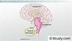 Parts Of The Brain Stem  The Medulla Oblongata And Pons