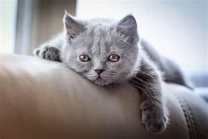 Cat British Shorthair Animal Cats Wall 1920