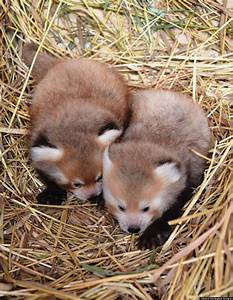 Twin Baby Red Pandas Prove 2 Baby Animals Is Always Cuter ...