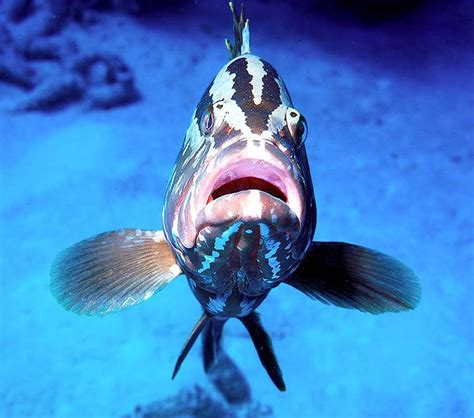 grouper nassau bahamas san face groupers salvador fish predatory caribbean island plentiful throughout once brent greenwood